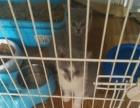 蓝猫…蓝白…自家小猫找个好家