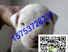 重庆哪里有卖杜高犬的,杜高犬价格