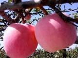 苗圃出售嫁接品种果树苗 一年以上烟富中秋王蜜脆红星柱状苹果苗