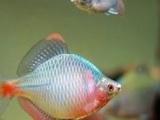 淡水鱼中华旁皮鱼转让