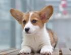 成都本地出售 上门低价 柯基幼犬 疫苗齐全一可看狗
