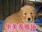 广东省金毛犬养殖场挑选空间大有保障