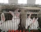 正旺种兔养殖场,长毛兔,肉兔,宠物兔,杂交野兔,种兔苗,