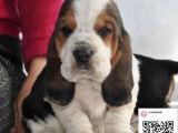 哪里有卖巴吉度犬 出售纯种巴吉度犬犬舍在哪里