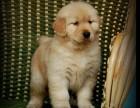 泰安哪有金毛犬卖 泰安金毛犬价格 泰安金毛犬多少钱