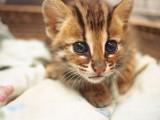 长春哪里有孟加拉豹猫卖 野性外表温柔家猫性格 时尚 漂亮