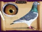 出售一批公棚成绩鸽,精品血统幼鸽,需要的请联系我