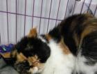 出售加菲猫成母一只