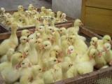 鹅苗养殖鹅苗疾病预防