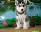 出售哈士奇幼犬品相纯正三把火双蓝眼白套袖体态完美
