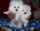 上海犬业基地出售球体博美俊介 白富美高富帅的佳