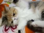 自家养加菲猫转让