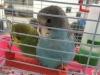 虎皮鹦鹉活体鸟幼鸟宠