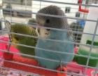 虎皮鹦鹉活体鸟幼鸟宠物鸟健康可爱
