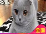 里有折耳猫卖纯种健康苏格兰折耳猫外面可爱活泼包健康