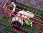 荷兰猪荷兰鼠豚鼠
