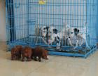中国较大双血统斑点狗繁殖基地 可实地考察