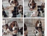 高端品质巴吉度猎犬公母都有多窝可选随时可以上门挑选质保