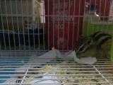 四个月金花(母)松鼠
