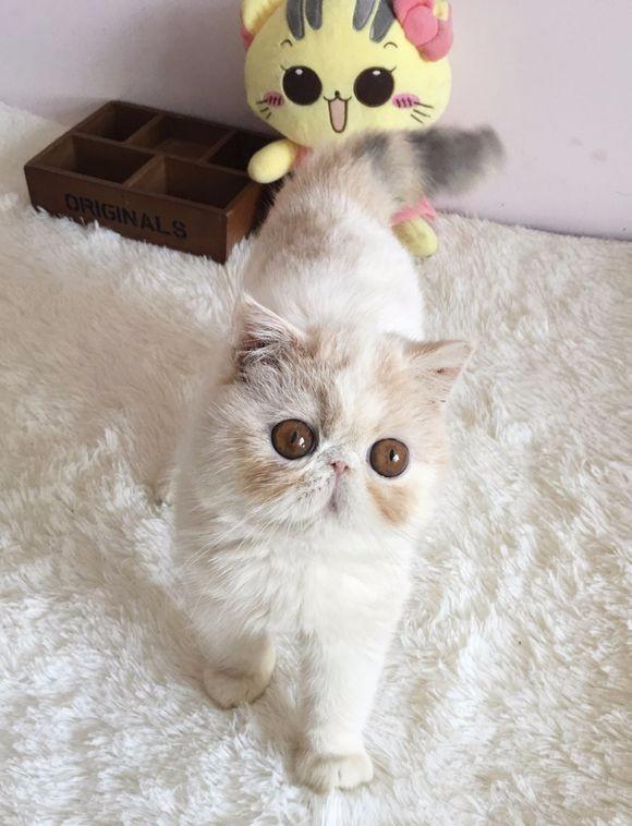 猫舍出售纯种波斯猫 无病 无癣 协议质保 欢迎选购