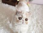 青岛哪里有加菲猫卖 自家繁殖 品相** 多只可挑