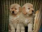 赛级大头金毛犬 带证书 赠送狗证 包一年退货