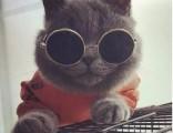 上海广州深圳北京美短猫哪里有卖 淘宝搜:双飞猫