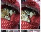 家养高品质加菲猫