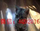 貓舍出售美國短毛貓 美短加白 純種家養 多只待售 可上門挑選