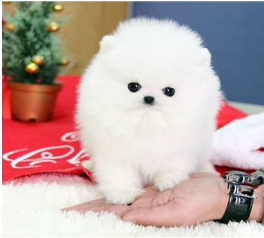 株洲什么地方有狗场卖宠物狗/株洲哪里有卖博美犬