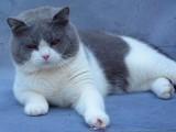 太原哪里有英短猫卖 专业繁殖 公母均有 包纯种包健康