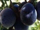 基地直供特色水果黑柿果苗