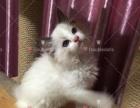 纯种布偶猫找新家