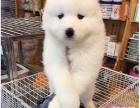 纯种萨摩耶雪橇犬,正规犬舍繁殖,带健康证,包养活