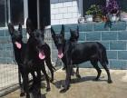 出售纯种黑狼犬 黑狼幼犬 品质好信誉高质量保