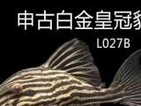 子亥水族 各种热带鱼出售回收