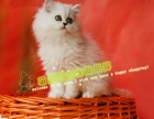 猫舍直销家养纯种金吉拉多只可选健康双血统包售后