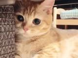 南京本地猫舍繁育波斯猫 粗尾巴 女神同款