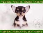 吉娃娃犬 当时化验 保纯种健康签协议 上门看父母