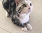 出售美短起司猫种公