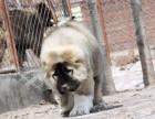 高加索犬舍赛级 俄系大骨量 巨型高加索