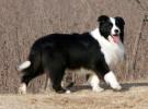 纯种边境牧羊犬 自家养殖 品相一流 包健康 上门选狗