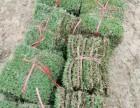 宁德草皮绿化基地专营(公园草坪,庭院,坡道防水土流失草皮)