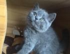 英短小朋友找新家,求对猫咪好的家庭。