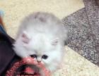 美丽温顺金吉拉猫双血统品质保证健康多只可选欢迎上门