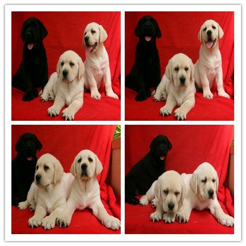郑州狗狗之家长期出售高品质 哈士奇 金毛 拉布拉多 售后无忧