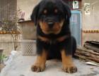 济南哪有罗威纳犬卖 济南罗威纳犬价格 济南罗威纳犬多少钱