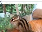 魔王松鼠,黄山松鼠,雪地松鼠,金华松鼠,各种宠物