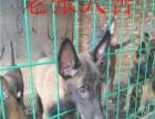 马犬出售 马犬价格 马犬哪里有卖 马犬图片