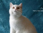 高品质单C血统纯白色英国短毛猫DD 亲人种公首选